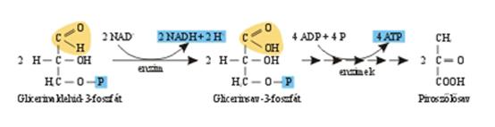 Glicerinaldehid-3-P oxidációja és a piroszőlősav kialakulása