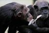 A majmok eszközhasználatát szemléltető fotó