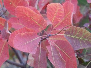 Kétszikű növény levelei