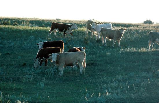 Szarvasmarhák a legelőn