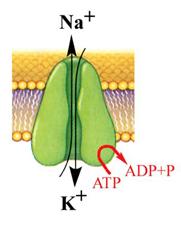 A K-Na-pumpa működése