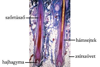 A szőrtüsző szerkezete