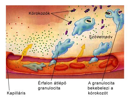 A falósejtek szerepe a kórokozók elleni védekezésben