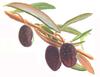 Olívabogyók