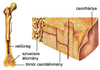 Csöves csont szerkezete