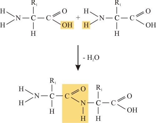 A peptidkötés kialakulása