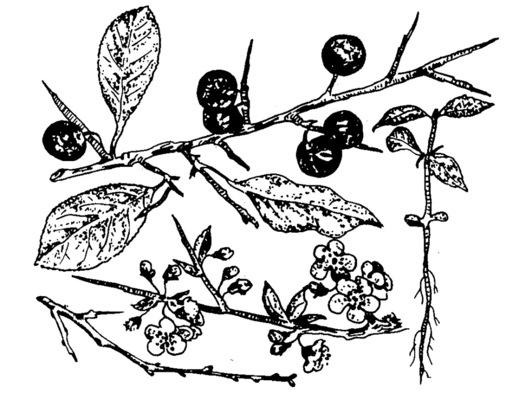 A kökény virága és termése