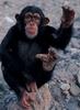 A főemlősök hüvelykujja szembefordítható a többi ujjal