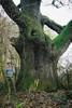Hatalmas tölgyfa