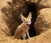 A sivatagi róka