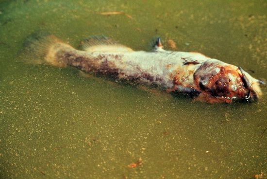A Tisza élővilágának kihalása