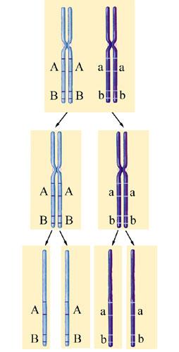 Két gén kapcsolt öröklődése