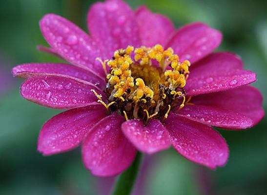 A rézvirág