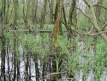 Fűzláp az ócsai természetvédelmi területen