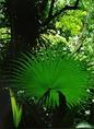Trópusi növény