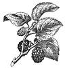 Fekete eper termése