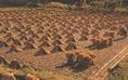 Rizskévék, melyket aratás után száradni hagynak a földeken