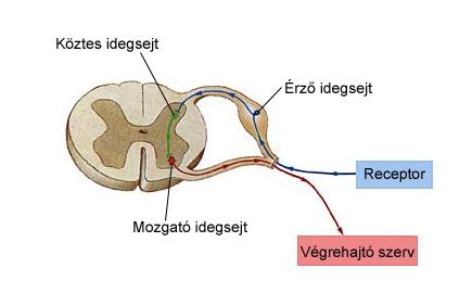 A gerincvelői védekező reflex vázlata