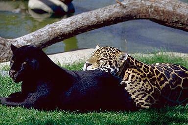 A jaguár két színváltozata