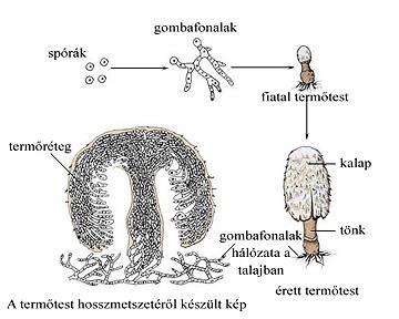 Kalapos gombák életciklusa
