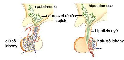 A hipotalamusz és az agyalapi mirigy kapcsolata