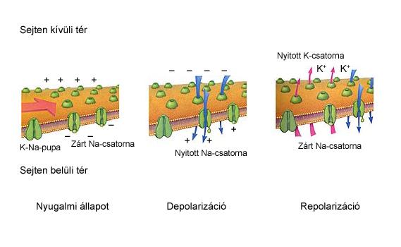 Ionok áramlása a membránon keresztül az akciós potenciál lezajlása során