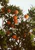 Narancsfa terméses hajtása
