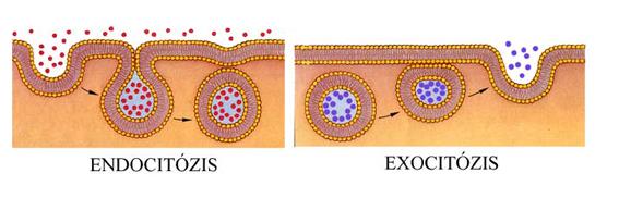 Endocitózis