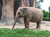 Élőlények - Elefánt