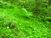 Mohaszint a fenyőerdőben