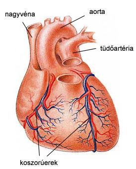 Szívkoszorúerek