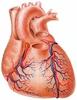 A szív külső felépítése