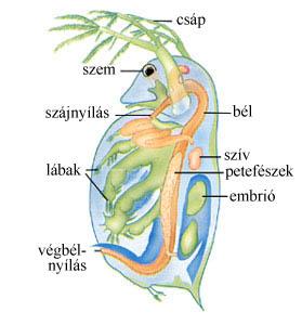 Vízibolha testfelépítése