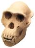 Csimpánz koponyája