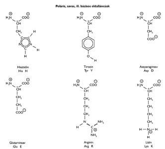 A poláris, savas ill. bázisos oldalláncú természetes eredetű aminosavak