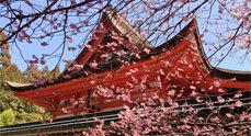 Sakura ünnep az ELTE Füvészkertben