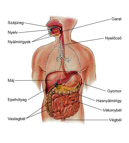 Az ember emésztőrendszere