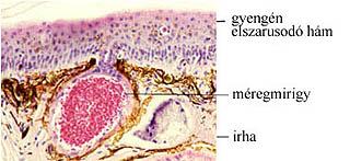 Kétéltű állat bőrének szerkezete