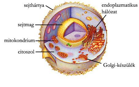 Állati sejt modellje elektronmikroszkópos vizsgálat alapján