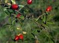 Gyepűrózsa termése