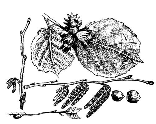 A mogyoró termése és virága