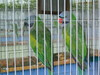 Papagáj kalitkában