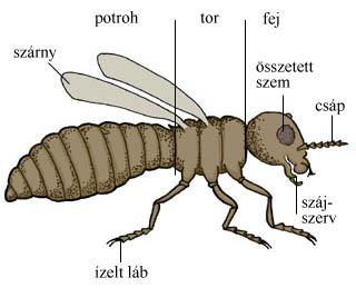 A rovarok testfelépítése