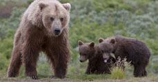 Botrányos medveparti