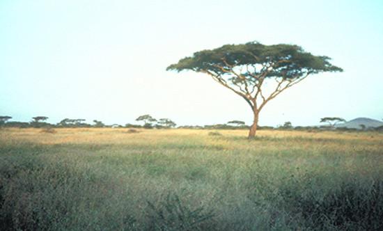 Az erdős szavanna