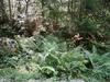 Árnyékkedvelő páfrányok a fenyőerdő aljnövényzetében