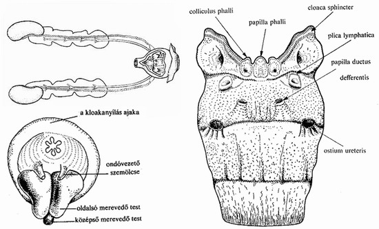 alakú péniszméret