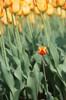 Tulipánszár