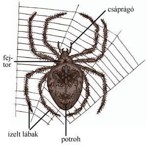 A pókok testfelépítése