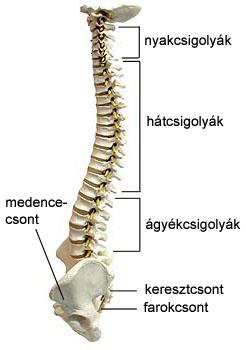 Anatómiai csukló – Wikipédia